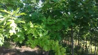Дуб красный (Quercus rubra) | Plante.md