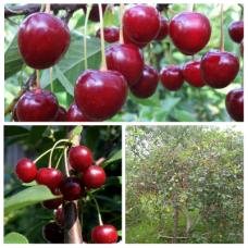 Дерево-сад (2-3х, 3-4х летка) вишня 2 сорта  Тургеневка - Быстринка