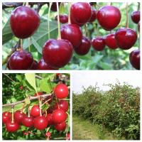 Дерево-сад (2-3х, 3-4х летка) вишня 2 сорта Десертная Морозовой - (дюк) Ивановна