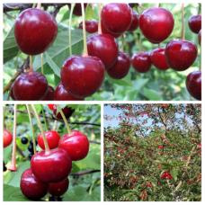 Дерево-сад (2-3х, 3-4х летка) вишня 2 сорта  Тургеневка - Молодежная