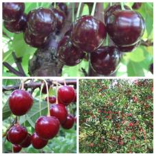 Дерево-сад (2-3х, 3-4х летка) вишня 2 сорта Жуковская -Молодежная